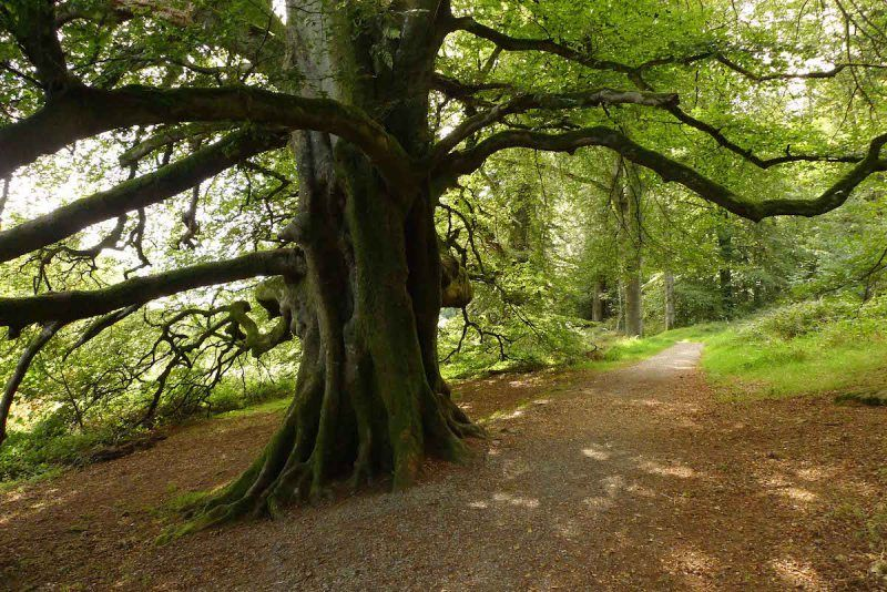 A huge oak becomes another feature at Slieve Gullion